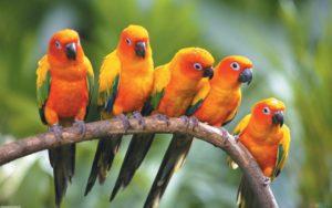 ob_96a620_sun-conure-parrots